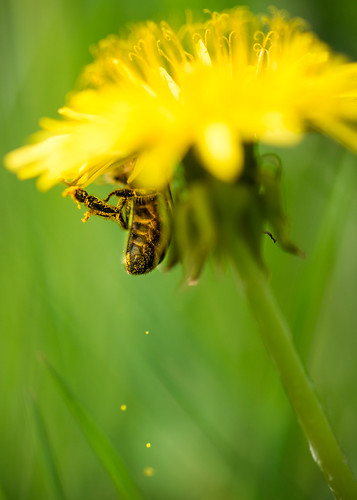 flower macro green nature field grass yellow bee pollen udine santamargherita nikond800 nikkormicro105mmafsvrf28
