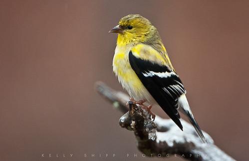 Goldfinch in winter.