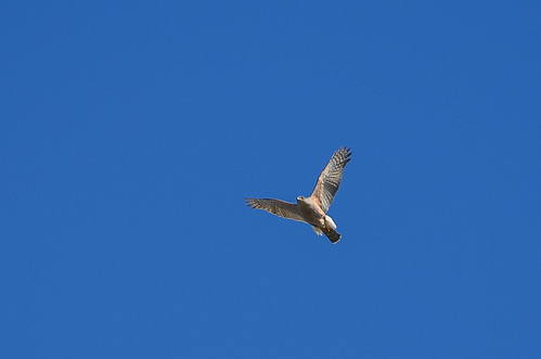 <p><i>Accipiter cooperii</i>, Accipitridae<br /> Colony Farm Regional Park, Coquitlam, British Columbia, Canada<br /> Nikon D5100, 70-300 mm f/4.5-5.6<br /> April 1, 2013</p>