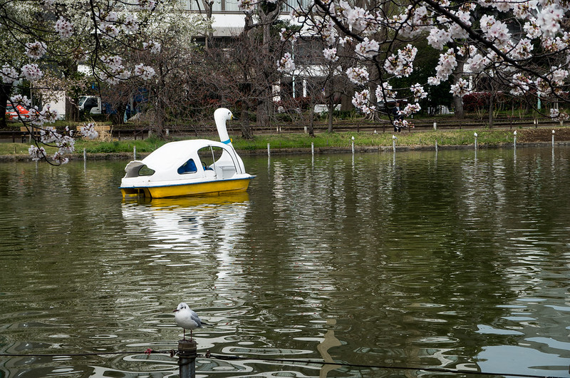 Next to Shinobazu Pond, the duck pond offers opportunity for boating.