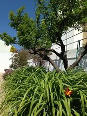 Ameixeira e flor de um dia