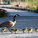 First Goslings of the Year by Mark Klotz