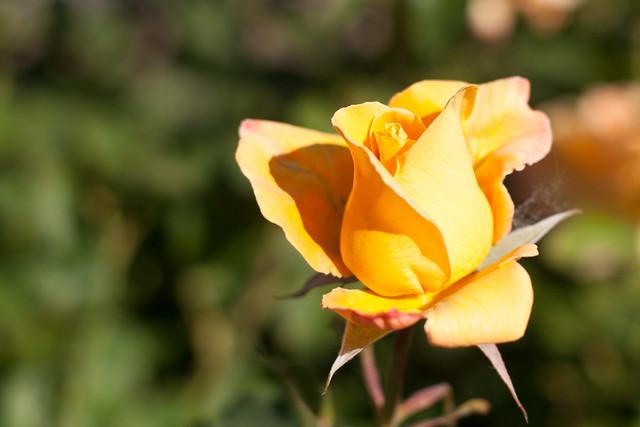 C1469CRE - New Rose DOF