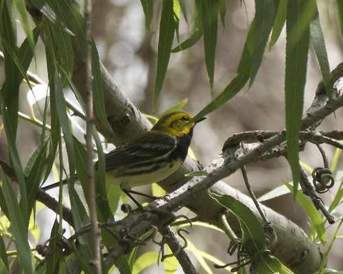 Black-throated Green Warbler - 2