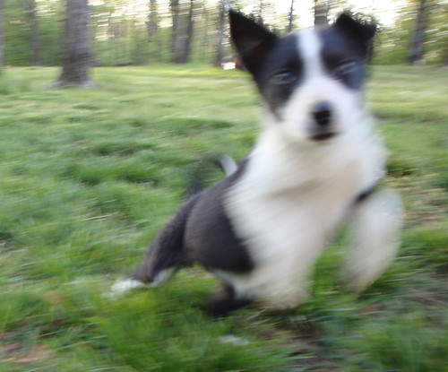 Border Collie Puppy, Action Shot