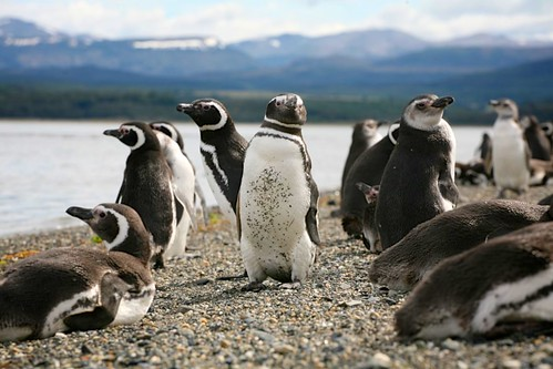 Argentina Ushuaia Magellanic Penguins by anthonymaw