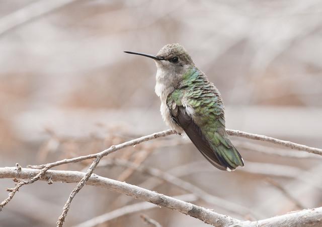 Hummingbird_Pedernales_Falls_SP_04-21-13