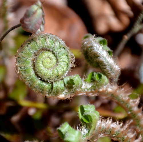fern macro forest spring flora woodlands april fiddlehead smokies gsm greatsmokymountains fiddleheadfern trailside schoolhousegaptrail jennypansing