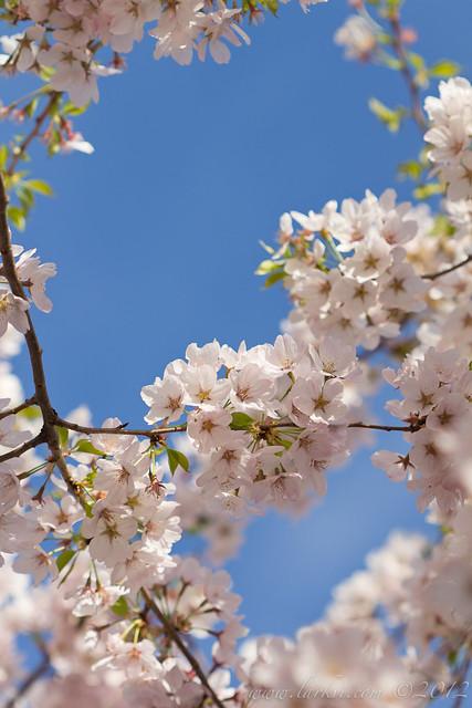 Cherry Blossoms #2, Toronto, Spring 2013