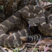 <p>Northern Pacific Rattlesnake.<br /> <br /> Mt. Diablo State Park, California.</p>
