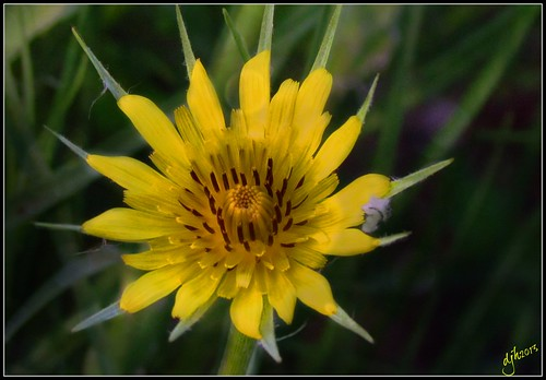 Yellow goat's beard.5.21.13