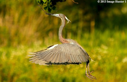 Tri-colored Heron Nest Building