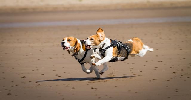 Speeding Beagles #2 [IMG_7085]