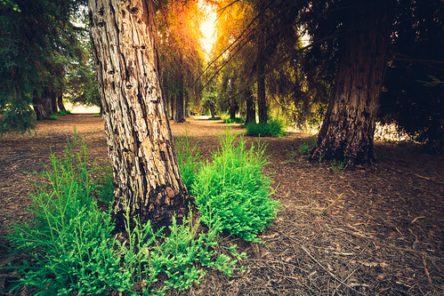 park trees light sunset plants sun green leaves forest big glow canyon trunk tall redwood carbon