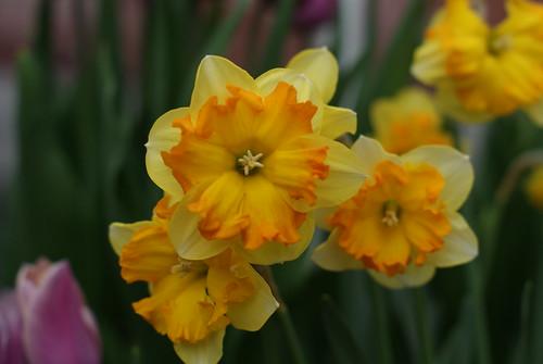 Ruffled Daffodils by susanvg