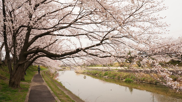 CherryBlossom_20