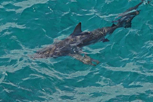 Black Tipped Shark, Galapagos