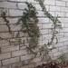 Garden Inventory: Ficus repans - 10
