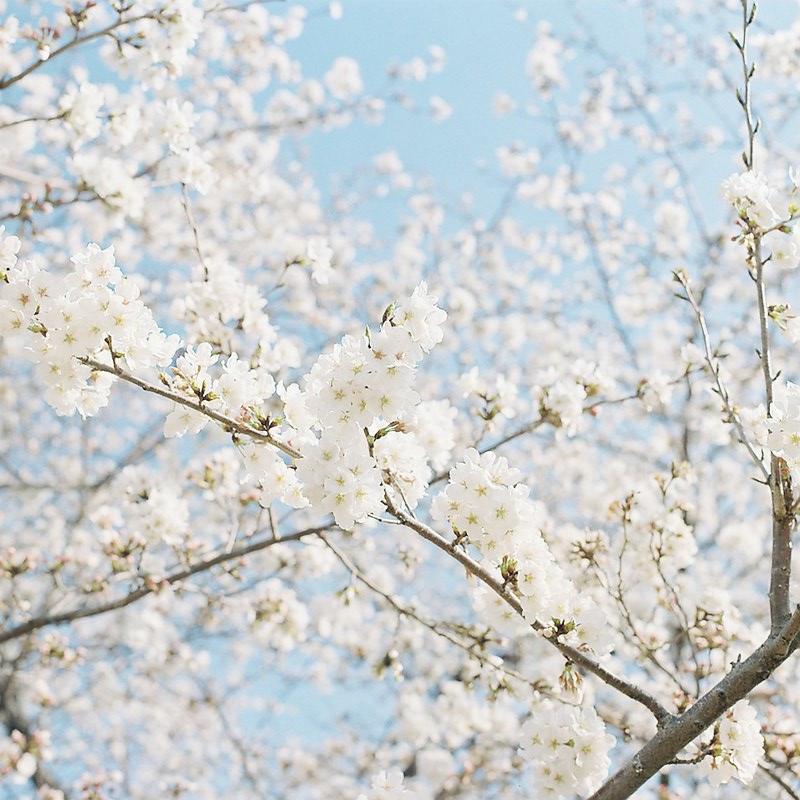 日本の春を楽しむ 003