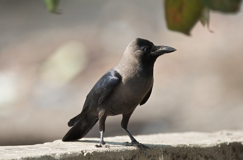 A robust looking House Crow