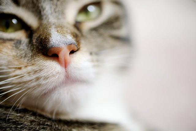macro cat nose