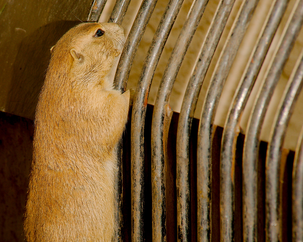 Black-tailed Prairie Dog (Cynomys ludovicianus)_94