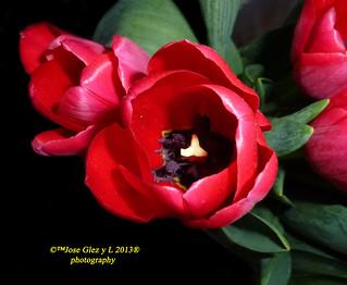 Red special Tulip