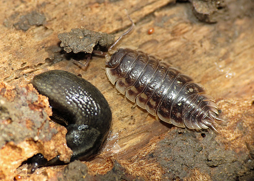 Common Shiny Woodlouse - Oniscus asellus