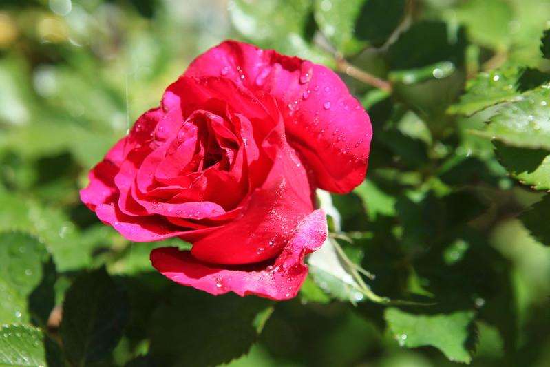 rose_081