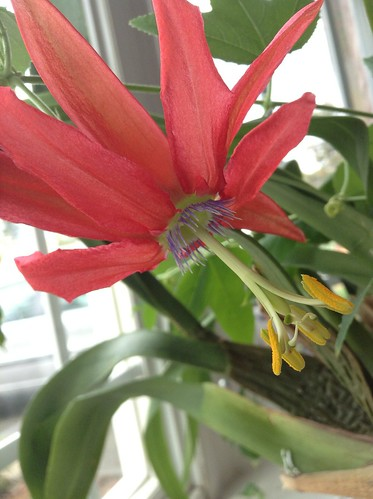 Passiflora<a href=