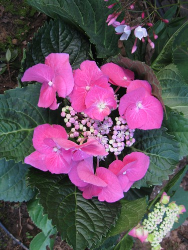 new pink hydrangea