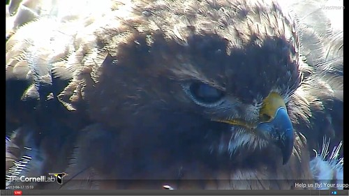 4-17-13 BR extreme closeup with 3-4ths nictitating membrane showing 3-59pm NT
