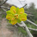 Small photo of Bulnesia retama