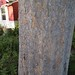 Garden Inventory: Chinese Elm (Ulmus parvifolia) - 01