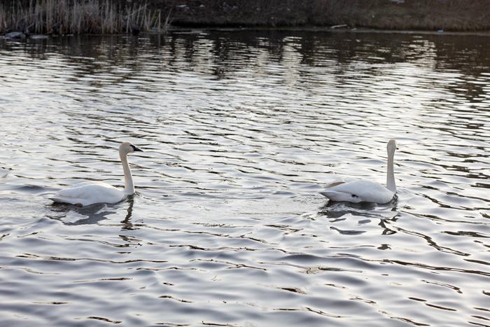 Swan lake (7)