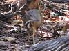 lesser-mouse-deer2