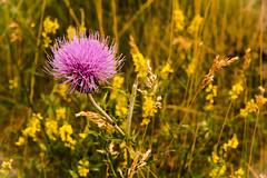 Purple Wyoming