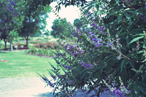 Butterfly Bush by bahayla