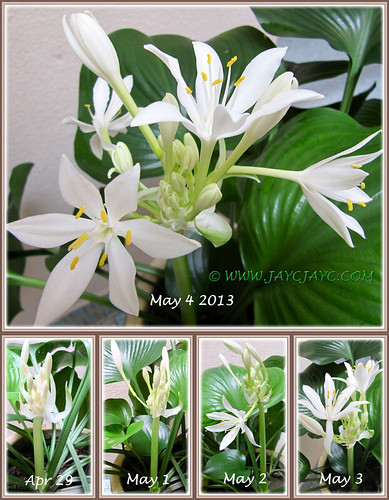 Blooming sequence of our Proiphys amboinensis (Cardwell Lily, Northern Christmas Lily) - Apr-May 2013