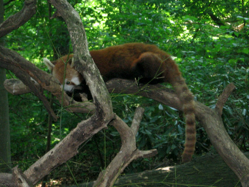 Sleeping red panda by Coyoty
