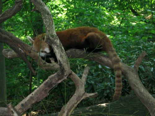 Sleeping red panda by Coyoty