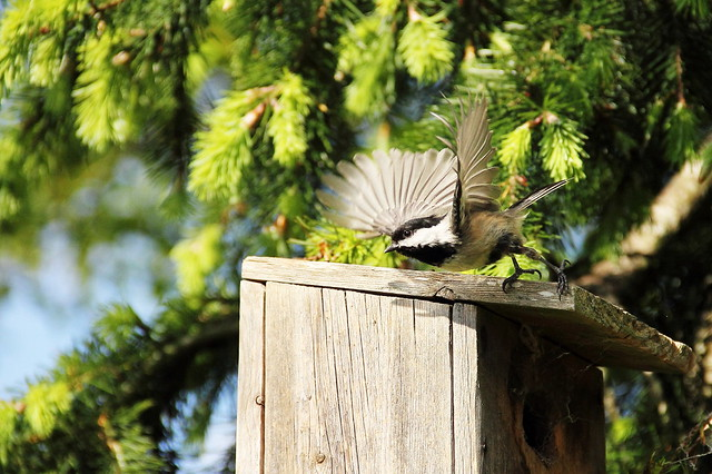Chickadee Take-Off
