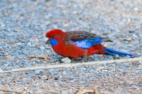 adult Crimson Rosella