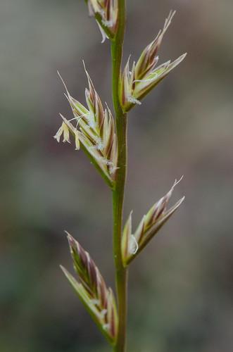 poaceae monocots annualryegrass italianryegrass loliumperennevararistatum