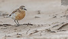NZ Dotterel 06