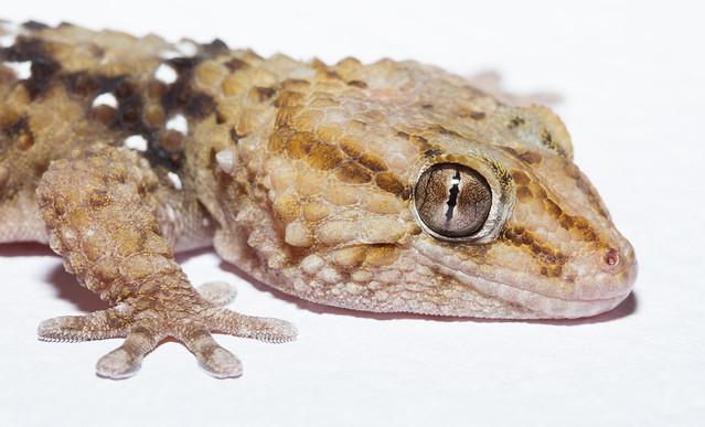 Bibron's Gecko (Pachydactylus bibronii)