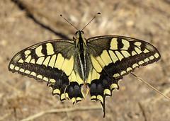 Swallowtail Papilio machaon Barao San Joao, Algarve, September 2016