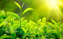 Fresh-Green-Tea-Leaves-Sunlight-1800x2880