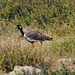 Small photo of Southern Black Korhaan (Afrotis afra)