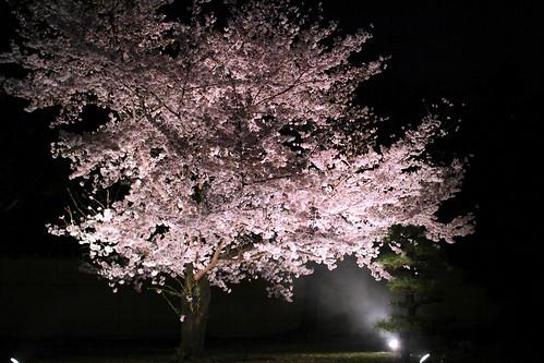 えべっさんの桜